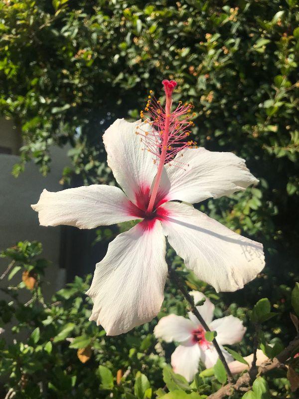 uncommon hibiscus